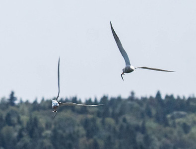 Common terns in flight with fresh Sand lances, migratory birds in Maine