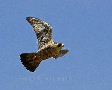 Peregrine falcon in flight, right facing, coastal Maine