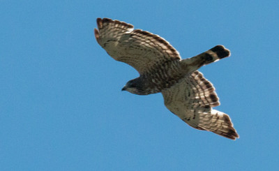 A Broad-winged hawk in flight, Phippsburg, Maine June 22, 2014