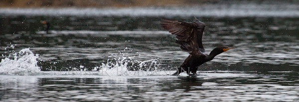 Double Crested cormorant taking flight from surface of water, Phippsburg, Maine