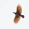 Northern Yellow Shafted Flicker in flight, Phippsburg Maine
