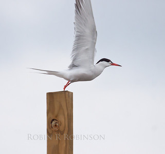 Common tern lifting off post to fly, Phippsburg Maine. These are beautiful, graceful birds. They are migatory in Maine