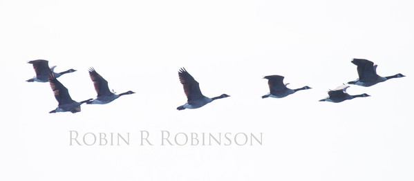ribbon on Canada Geese in flight, Phippsburg, Maine small flock