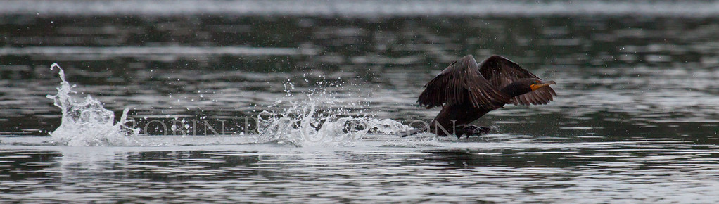 Double Crested Cormorant taking flight from water surface, hopping, large bird in flight, diving bird, Phippsburg, Maine