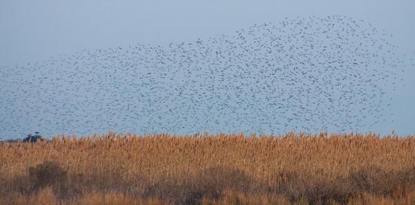Thousands of Dunlins in flight above salt marsh habitat, some of which has been overtaken by invasive Phragmites.