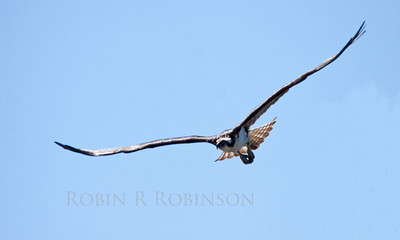 Osprey male flying. Phippsburg, Maine. Osprey, also called Fish Hawks, Pandion haliaethus is a migratory bird of prey in Maine. This large raptor hunts only live fish. It hovers in the air over water to see fish then plunges feet first to capture fish.