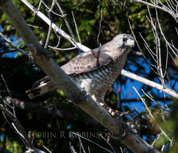 Sharp-shinned hawk with fresh kill, Phippsburg, Maine. It looks like a rodent that the raptor has captured, but it's hard to say for sure. June, 2013
