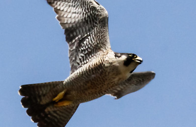 Peregrine falcon in flight, Phippsburg, Maine. This raptor has been delisted by the US Federal Government. Its current status is protected, but no longer endangered.