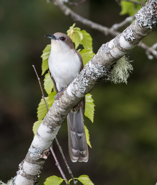 Black-billed cuckoo, Phippsburg, Maine Totman Cove, May 31, 2014
