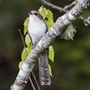 Black-billed cuckoo, Phippsburg, Maine Totman Cove, May 31, 2014