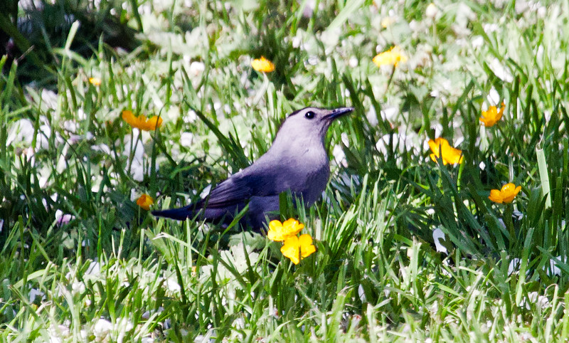 Gray Catbird in grass with Buttercups, May, Phippsburg, Maine