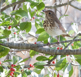 Hermit Thrush, summer migratory songbird, Phippsburg, Maine, perched