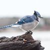 Blue Jay side view, perched, winter bird, Phippsburg, Maine
