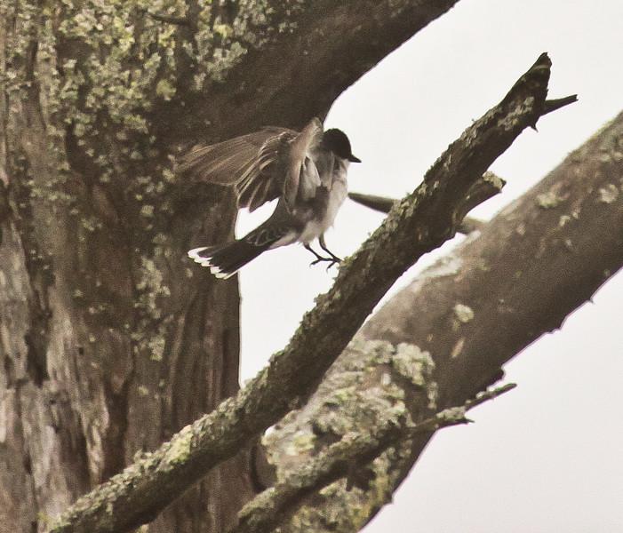 Eastern Phoebe, wings spread, Phippsburg Maine