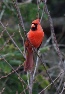 brilliant red, Northern cardinal, male, perched in shrubs, elegant crested bird, PHippsburg, Maine