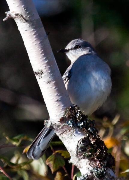 Northern Shrike perched, Phippsburg, Maine. Predatory songbird