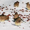 Cedar Waxwings in snow eating crabapples, Maine