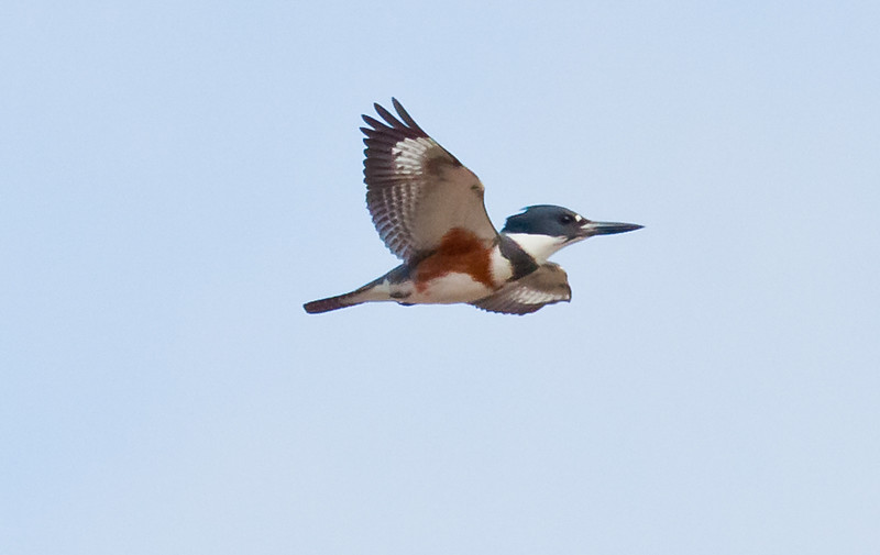Belted Kingfisher, female, flight
