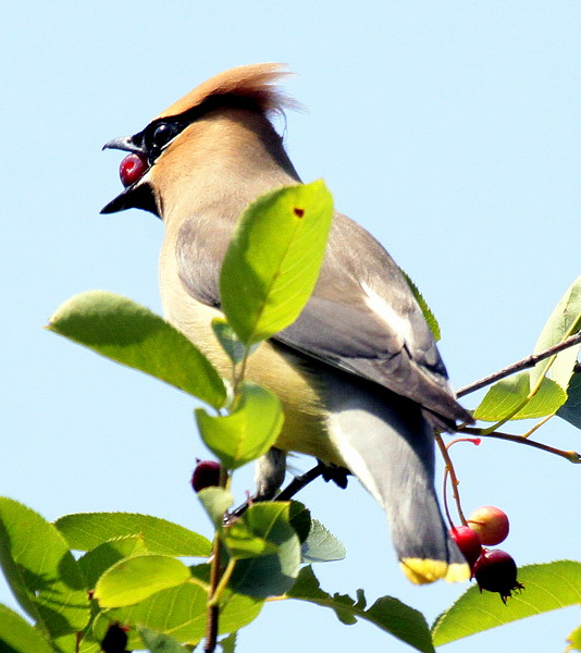 Cedar waxwing eating crab apple, Phippsburg Maine