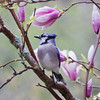 Bluejay perched in Magnolia soulangiana, spring, Phippsburg, Maine