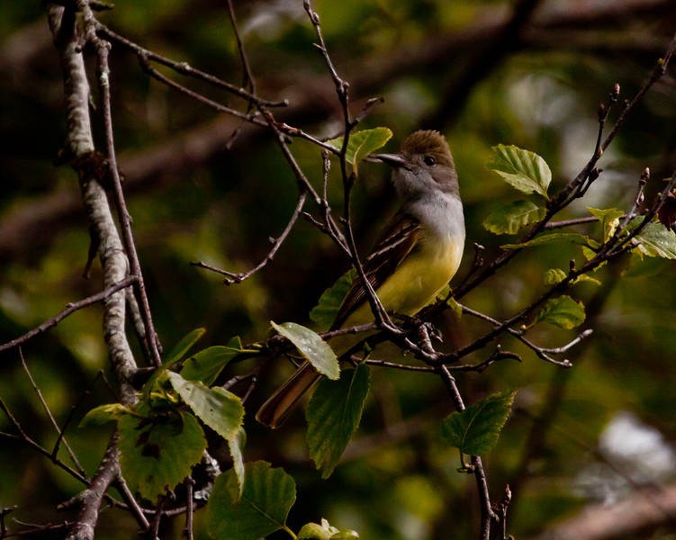 Great Crested Flycatcher, left facing perched, male, June, Phippsburg, Maine