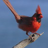 red Northern Cardinal perched facing right, close up, songbird medium sized Phippsburg, Maine