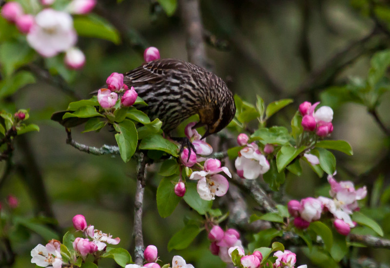 Red-winged blackbird, female eating apple blossoms, May, Phippsburg Maine