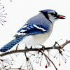 Blue Jay in snow with Crabapple