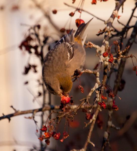 Pine grosbeak, female eating crab apples, Maine winter, a boreal irruptive species