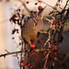 Pine grosbeak, female eating crab apples, Maine winter, a boreal irruptive species