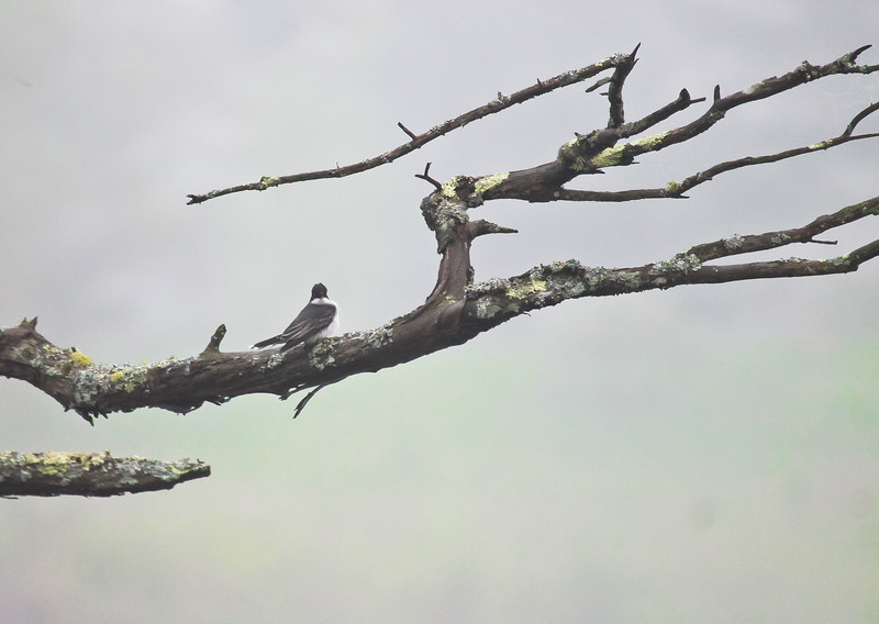 Eastern Kingbird perched on snag encrusted with lichen, Phippsburg Maine