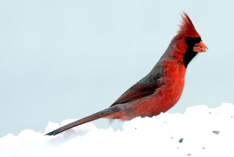 red, male Northern cardinal standing in snow, right facing