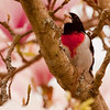 male Rose Breasted grosbeak in pink magnolia tree with seed in his beak, Phippsburg Maine spring migratory song bird