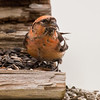 White-winged crossbill, male, Phippsburg Maine sitting in feeder