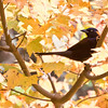Common Grackle, a late fall migrator in Phippsburg, Maine November