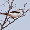 Northern Shrike With Caterpillar