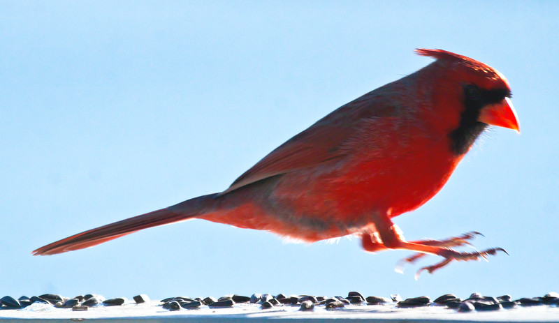 Leapin' Larry doin' the Birdseed Boogie! male Northern Cardinal jumping over bird seed, Phippsburg, Maine