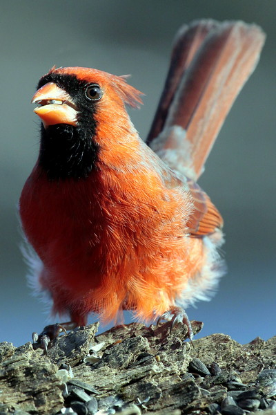 red, male Northern Cardinal perched with seed in its beak