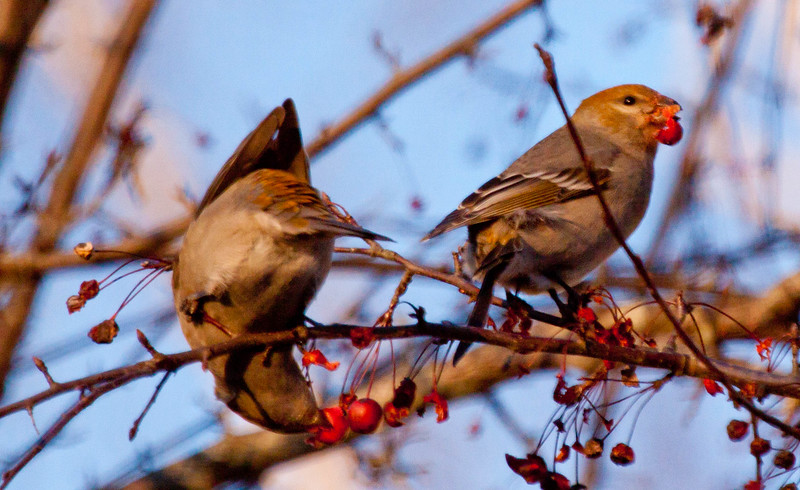 Pine grosbeaks, females eating crab apples in Maine, winter, boreal irruptive species