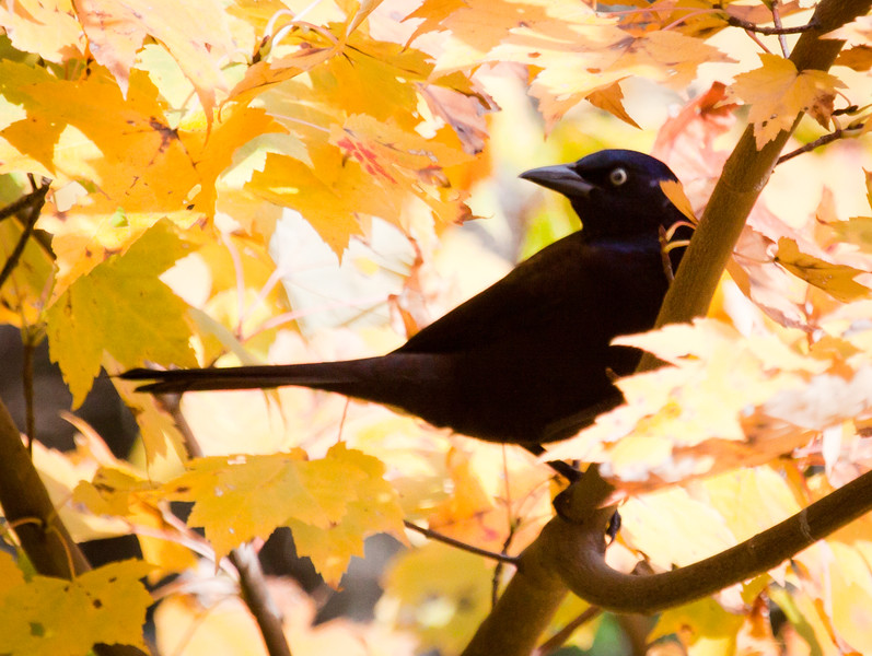 Common Grackle sitting amidst yellow leaves of maple tree in autumn, Phippsburg, Maine. His striking golden eye really stands out with the golden leaves around him.