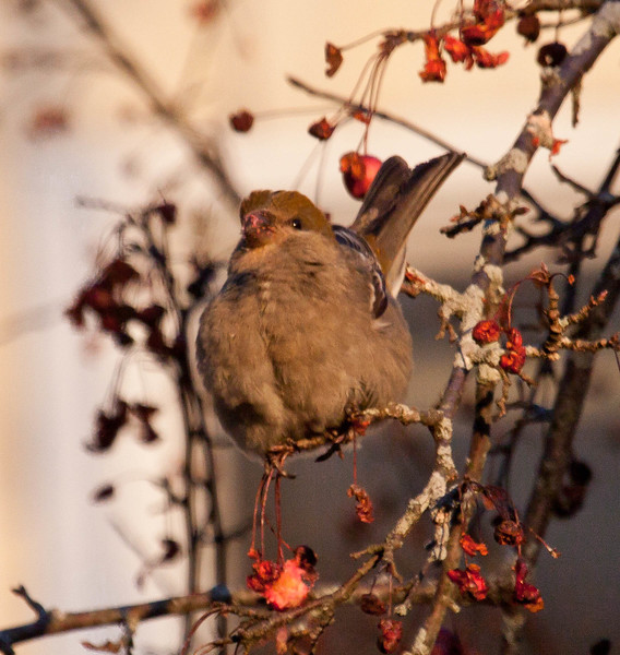 female Pine grosbeak perched in crab apples eating, winter, Maine 2012