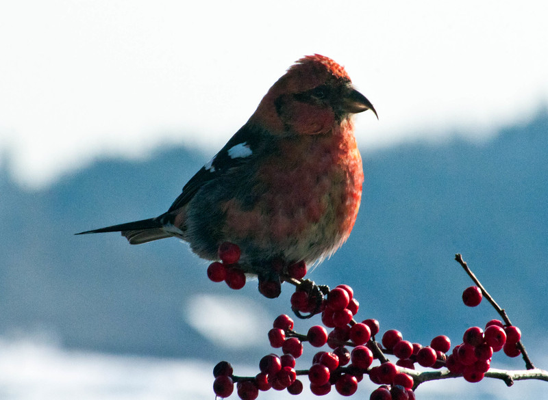 White-winged crossbill, male perched on branch of Winterberry, Ilex verticilata, Phippsburg, Maine