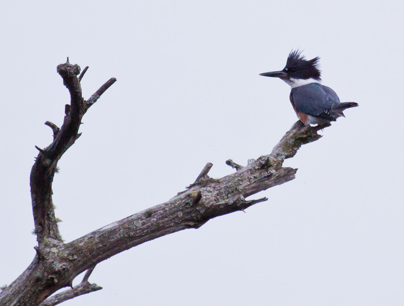Belted Kingfisher, perched on snag, Phippsburg Maine