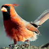 red, male Northern Cardinal perched frontal view left facing
