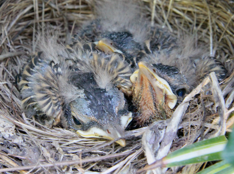 Baby American Robins