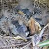 Baby American Robins