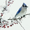 Bluejay perched on snow covered crab apple branch, winter, Phippsburg, Maine