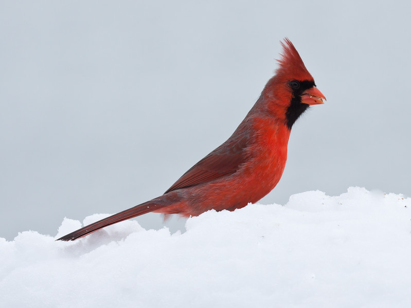 male Northern cardinal, right facing side view, in snow with seed, Phippsburg, Maine