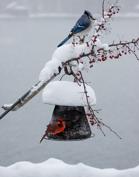 Northern cardinal, male, Bluejay perched on crab apple branches with snow and bird feeder, winter, Phippsburg, Maine