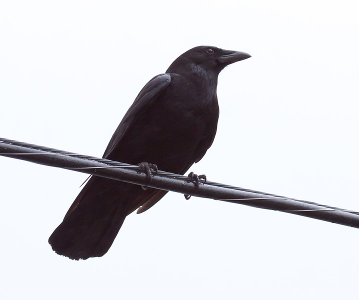 American crow, perched on utility wire, close up, Phippsburg, Maine